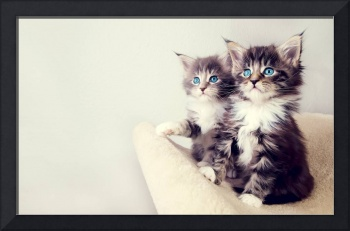 Looking Up Maine Coon Kittens