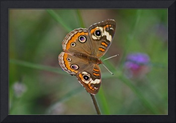 Butterfly  Buckeye with Green background