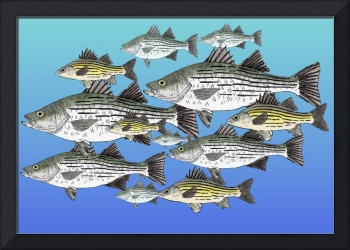 White and Yellow Bass School