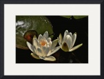 Two Water Lilies by Jim Bavosi