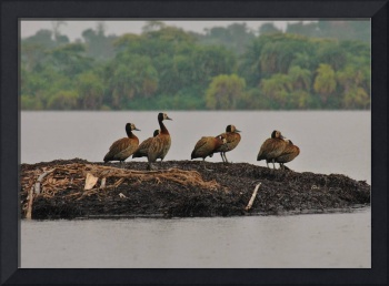 Colony of white-faced whistling duck (Dendrocygna