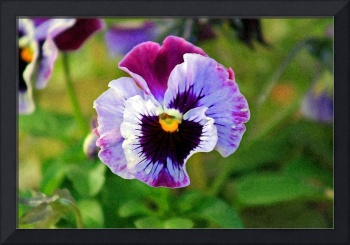 Pansy Flower Close-up