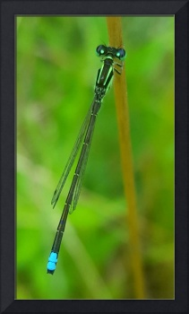 Blue Darner Bliss
