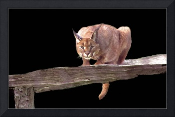 Caracal Cat Crouching