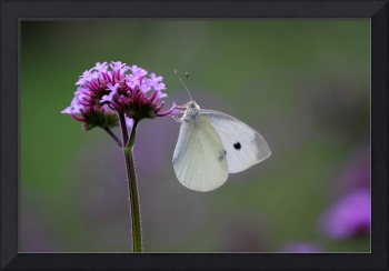 Cabbage White Butterfly Treat