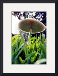 Green Spored Lepiota by Manda Malice
