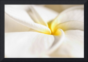 Extreme Close-Up Of White And Yellow Plumeria Flow