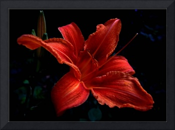 Day-lily 1