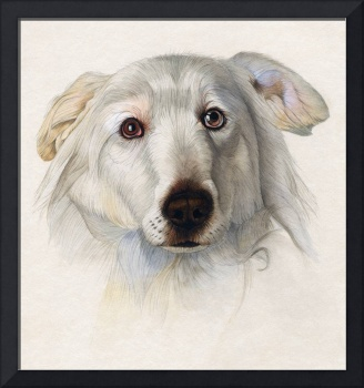 portrait of a Maremma dog