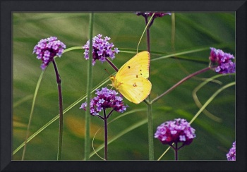 Butterfly Yellow Sulphur in Field