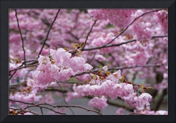 Spring Pink Blossom Flowers Tree art prints