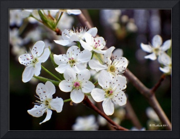 Pear Tree Blossoms II
