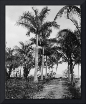 Florida Royal Palm Trees Black & White Photograph