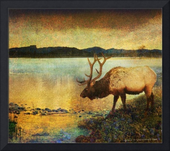 a cool drink bull elk twilight