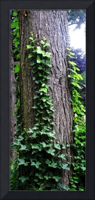 Tree With Ivy