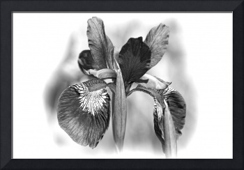 Japanese Iris in Black and White