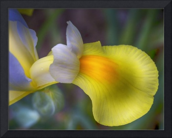Magical Yellow Iris