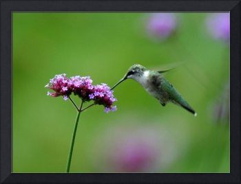 Hummingbird at Purple Verbena Flower