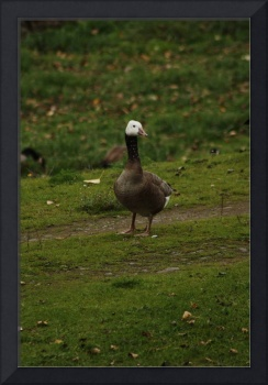 White headed Canada Goose