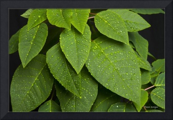 Lush Green Leaves and Rain Drops