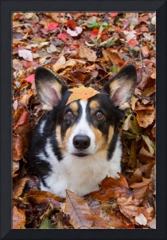 Corgi and Fall Leaves