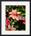 Monarch Butterfly and Dahlia Flowers by John Corney