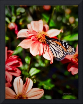 Monarch Butterfly and Dahlia Flowers