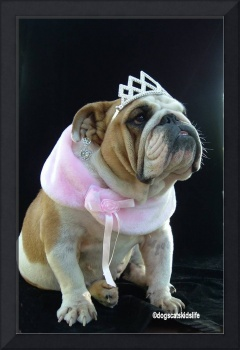 Norma the English Bulldog Wants to be a Beauty Que