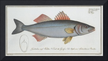 Vintage Illustration of a Umber Fish (1785)