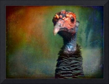 Portrait of an Occelated turkey