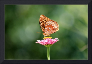 Great Spangled Fritillary Butterfly on Zinnia