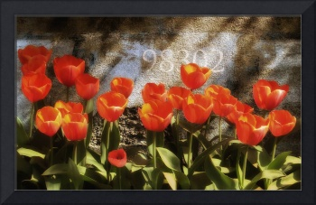 Orange Tullips in a Row