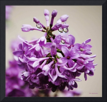 My Lilacs Are Blooming