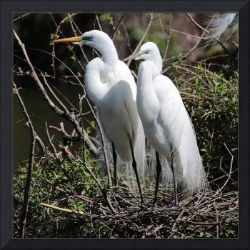 Handsome Egret Couple
