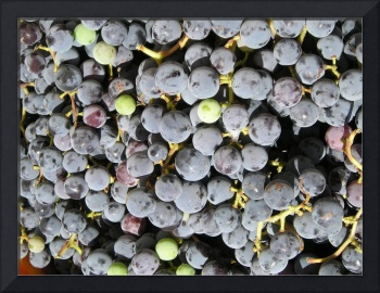 bunches of concord grapes
