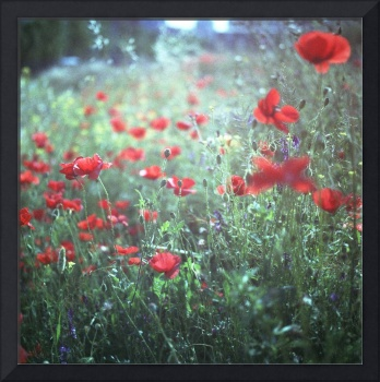 Red wild poppy flowers on green Hasselblad square