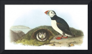 Atlantic Puffin Bird Audubon Print