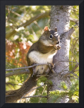 Squirrel on a branch , Flowerpot Island , Canada