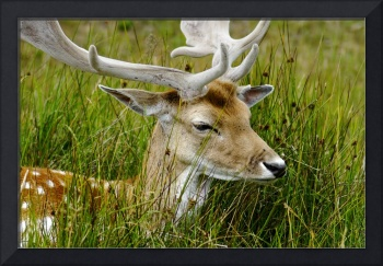 Male Fallow Deer Close-up (29203-RDA)