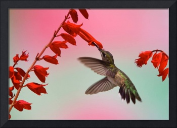 Ruby-Throated Hummingbird - Scarlet Sage