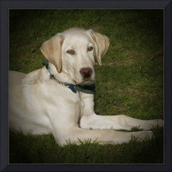 YELLOW LAB PUPPY 2