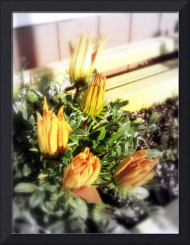 closed yellow and orange blossoms 2