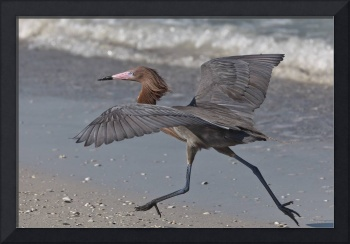 Reddish Egret Dark-morph Running