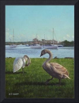 swans at christchurch harbour