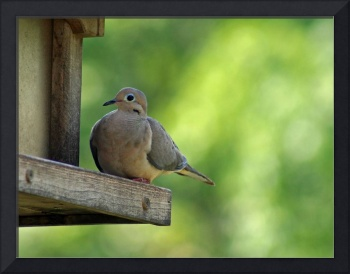 Mourning Dove ~ Turtle Dove