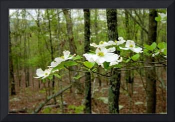 Dogwoods in May