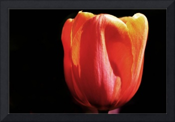 Orange Tulip on Black