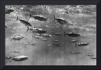 Black and White Underwater Photograph of Tuna
