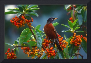Robin and Madrona berries