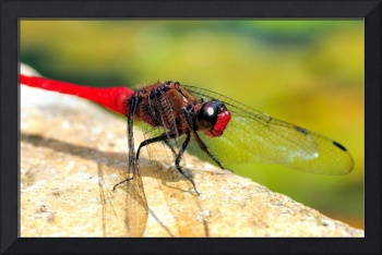 Dragonfly, Fire Colour